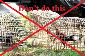 Keep roosters in single coop
