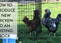 Steps of Introducing new chickens to the existing flock