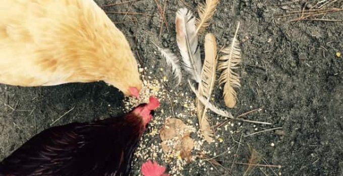 Prevent a Rooster from Pulling Hens' Feathers