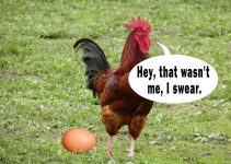 Pros & Cons of Keeping a Rooster
